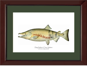 Dog Salmon - Breeding Male