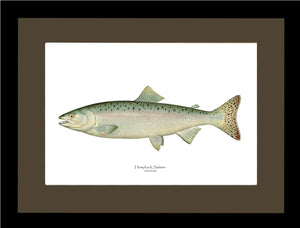 Humpback Salmon - Female