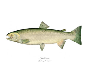 Antique Fish Print: Steelhead Trout