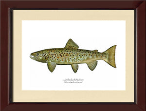 Landlocked Salmon - Breeding Male