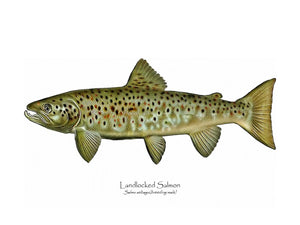 Antique Fish Print: Landlocked Salmon - Breeding Male