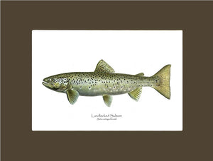 Landlocked Salmon - Salmo sebago(female)