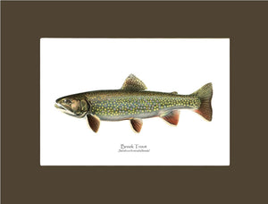 Speckled Trout (Brook Trout) Salvelinus fontinalis