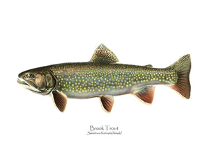 Antique Fish Print: Speckled Trout (Brook Trout) Salvelinus fontinalis