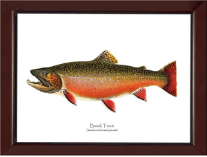 Speckled Trout (Brook Trout) -  Ripe Male