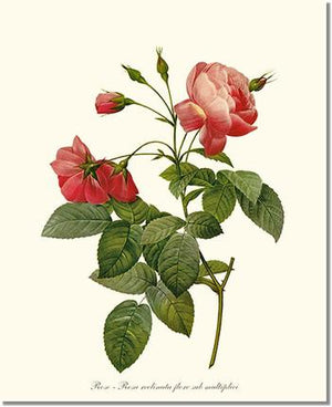 Rose Print: Rosa reclinata