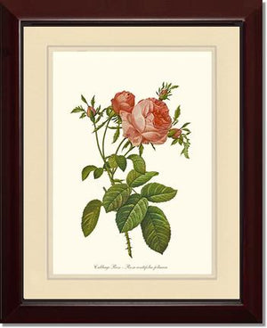 Rose Print: Cabbage Rose