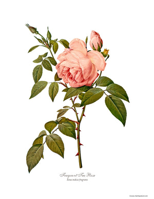 Rose Print: Fragrant Tea Rose