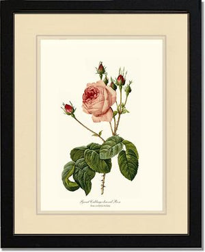 Rose Print: Great Cabbage Leaved Rose