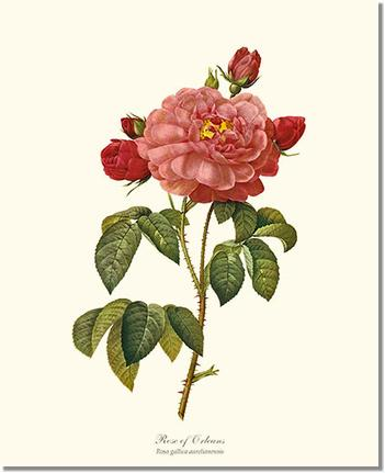 Rose of Orleans