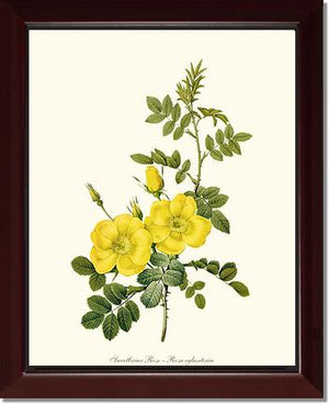 Sweetbriar Rose, Yellow