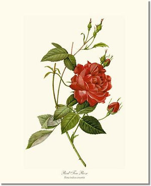 Rose Print: Tea Rose, Red