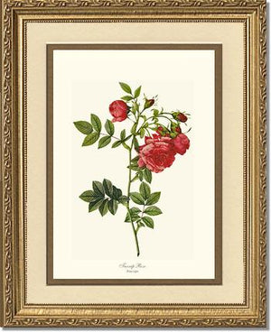 Rose Print: Turnip Rose