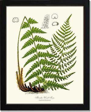 Florida Wood Fern
