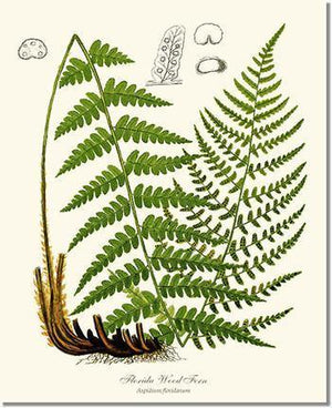 Fern Print: Florida Wood Fern