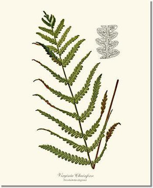Fern Print: Virginia Chainfern