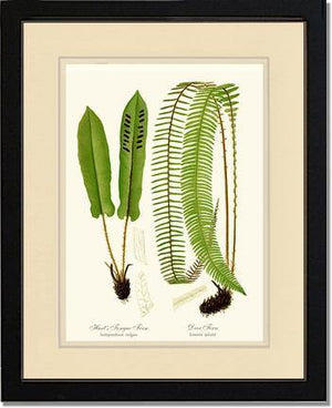 Hart's Tongue Fern
