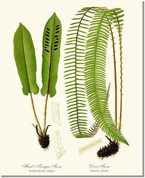Fern Print: Hart's Tongue Fern