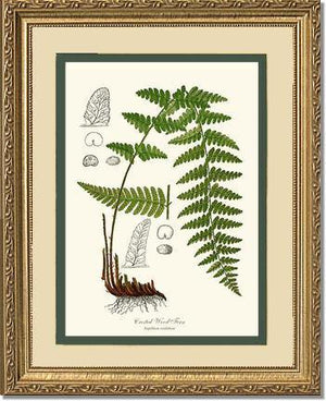 Crested Wood Fern