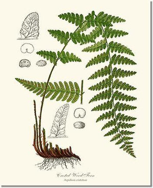 Fern Print: Crested Wood Fern