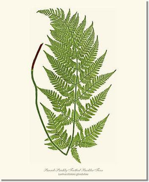 Fern Print: Broad prickly-toothed buckler fern