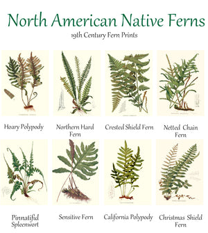 Vintage North America Native Ferns Note Card Set