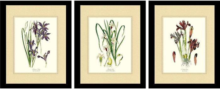 Two Lilies and an Iris Botanical Print Set