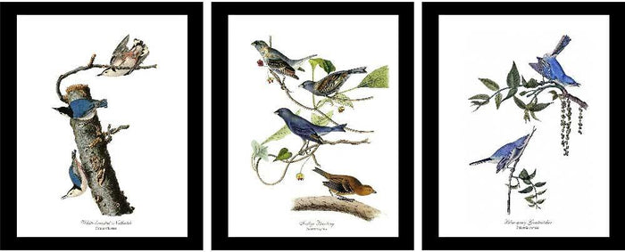 Audubon Blue Bird Prints