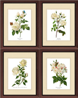 .White Rose Vintage Botanical Print Set. Matched Set of 4