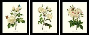 White Rose Vintage Botanical Print Set. Matched Set of 3