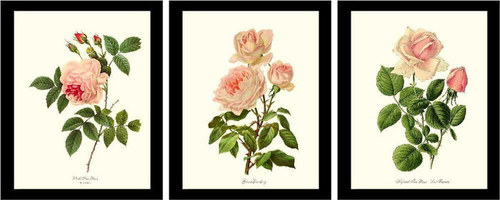 Pink Rose Vintage Botanical Print Set. Matched Set of 3