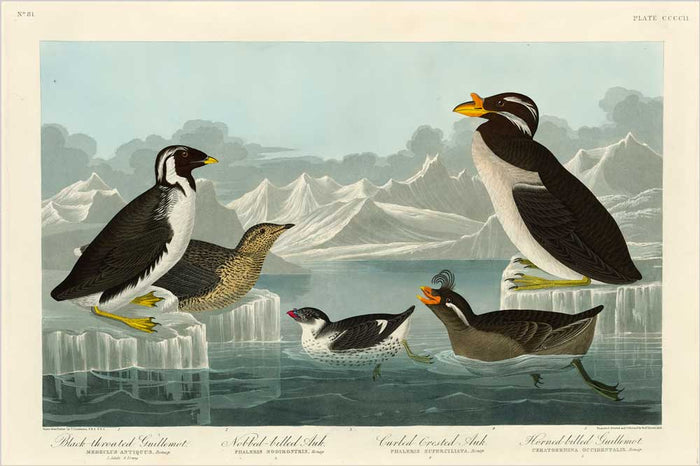 Auk-Nobbed-Billed