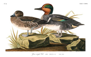 Teal-American Green Winged