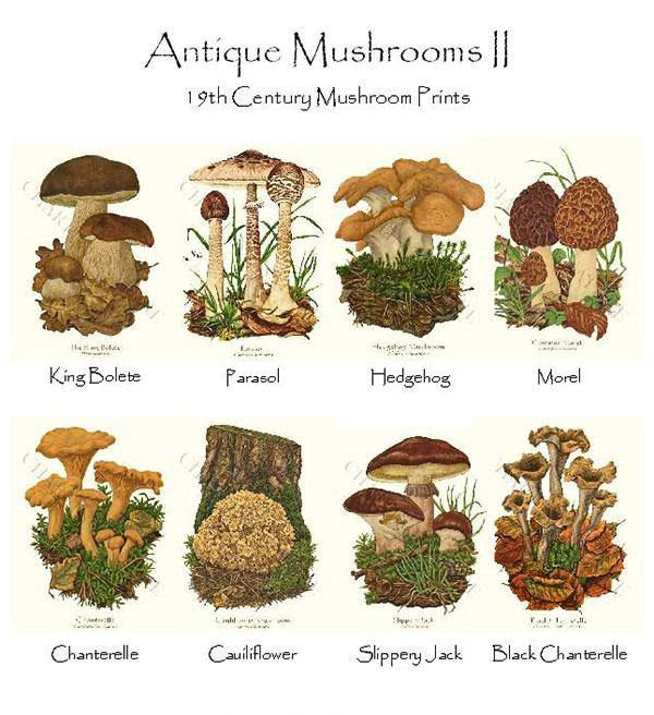 Antique  Mushrooms II Notecards