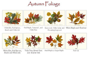 Autumn Leaf Foliage Note cards
