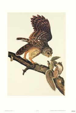 Audubon's Barred Owl