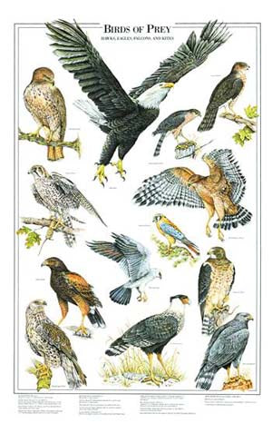 Birds of  Prey Poster Identification Chart I