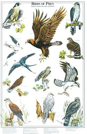 Birds of  Prey Species Poster Identification Chart