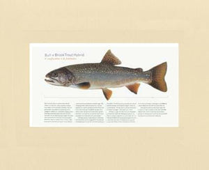 Bull-x-brook-Trout-Hybrid