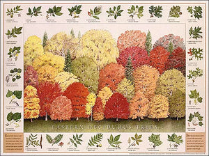 Eastern Deciduous Tree Species Poster Identification Chart