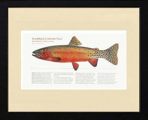 Greenback Cutthroat Trout