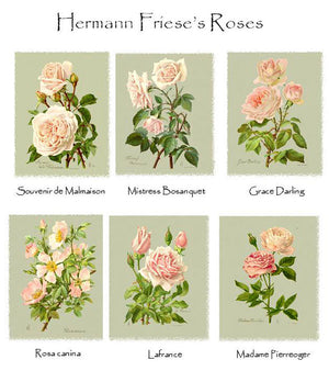 Hermann Friese's Roses Notecards