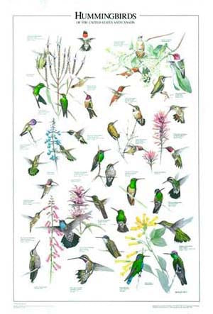 Hummingbirds of the US and Canadian Species Back Yard Identification Poster