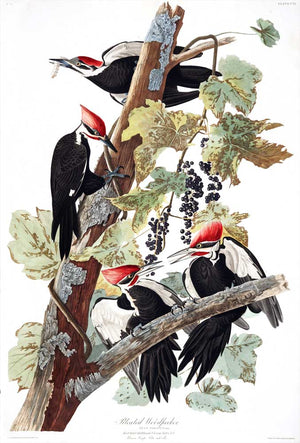 Woodpecker-Pileated