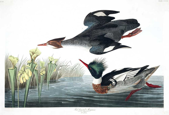 Merganser-Red Breasted