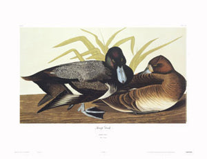 Duck-Scaup
