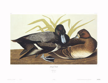 Duck, Scaup