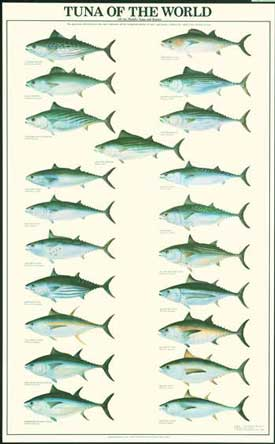 Tuna Species Poster and Identification Chart