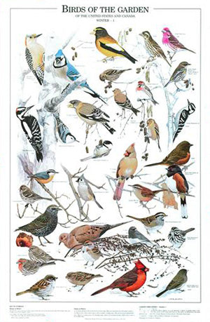 Garden Birds Winter Poster Identification Chart 1