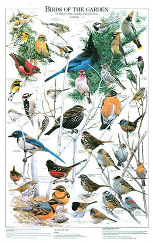 Backyard Garden Bird Art Print. Poster. Winter Identification Chart